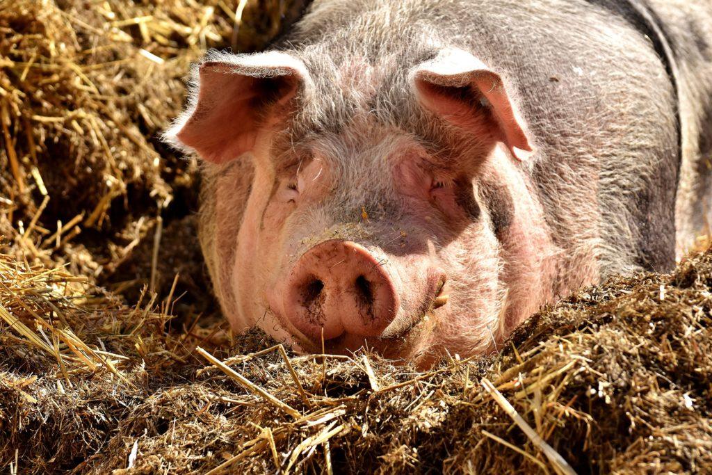 En gris som ligger ner